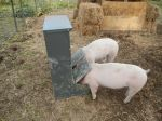 The pigs with their new (harder to flip) feeder