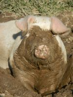 Pigs love mud!