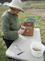 Birdie cuts up the seed potatoes for planting