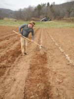 Jason raking over planted potatoes