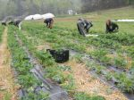 The first kale harvest 2014 (in the rain)
