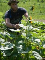 Kyle harvesting sunflowers