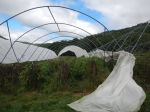 removing the Haygrove tomato umbrella plastic for the season
