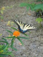 a butterfly on butterfly weed