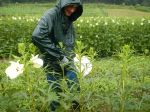 Nathan harvesting okra in the rain