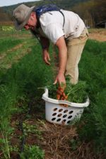 Jason harvesting carrots