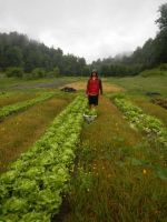 Mitch harvesting lettuce in the rain