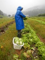 Nathan harvesting lettuce in the rain