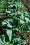 Fall collards