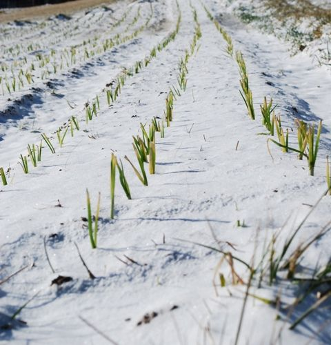 onion plants in snow