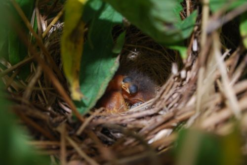 Very baby birds in their nest in the tomatoes