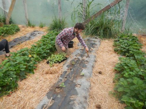 Mitch planting melons in the hoophouse