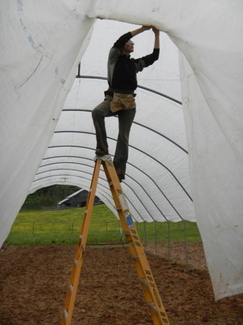 Emily pinning plastic on the haygrove tomato umbrella