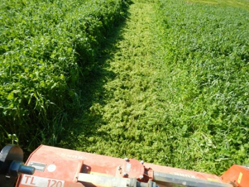 Mowing a gorgeous cover crop