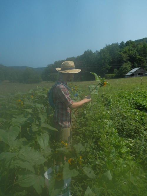 Mitch cutting sunflowers