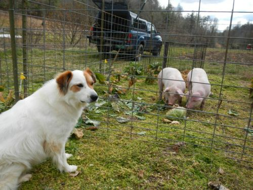 Tully loves the pigs