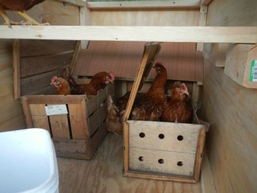 The chickens are delivered to their new house