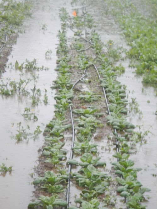 Drowing spinach (May 6th flood)