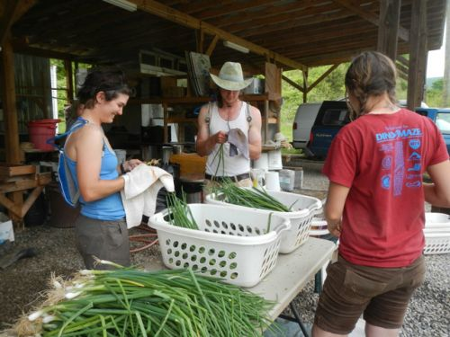 Gretchen, Nathan and Shannon cleaning scallions