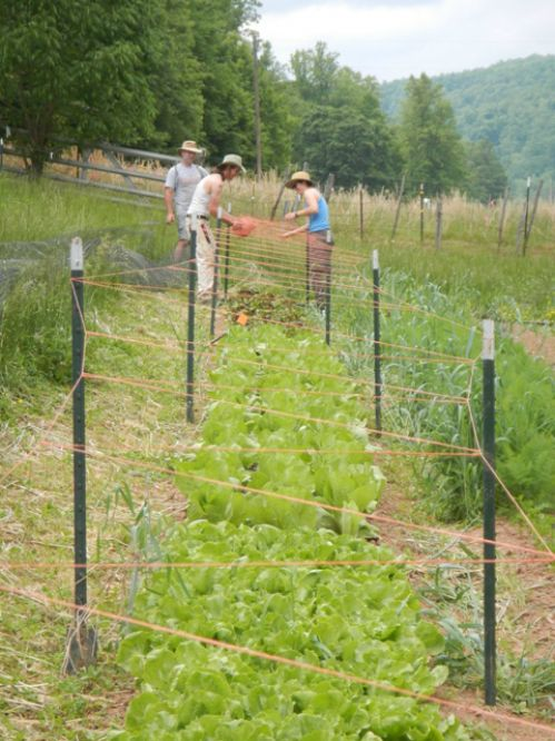 Building the chicory fortress