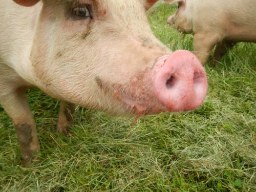 Pig noses covered with strawberry juice