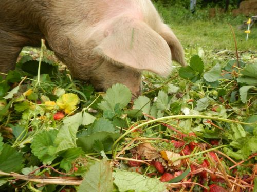 The pigs love strawberry culls!