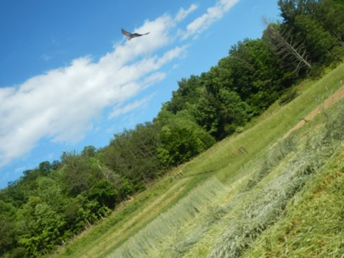 A swallow chasing insects above a freshly mowed field
