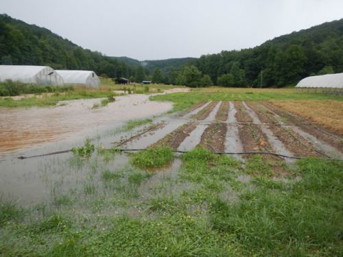 The creek rises up and out of its banks into the sweet potato field