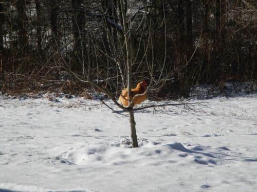 Chicken in a tree because of snow