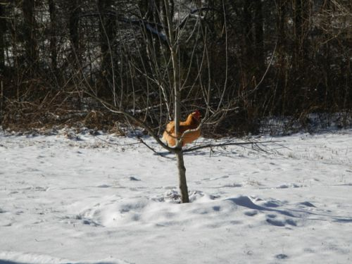 This chicken hates the snow!