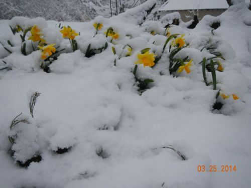Snow covered daffodil surprise March 25th