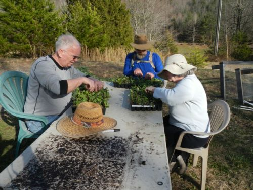 Jason and his parents thinning chard transplants