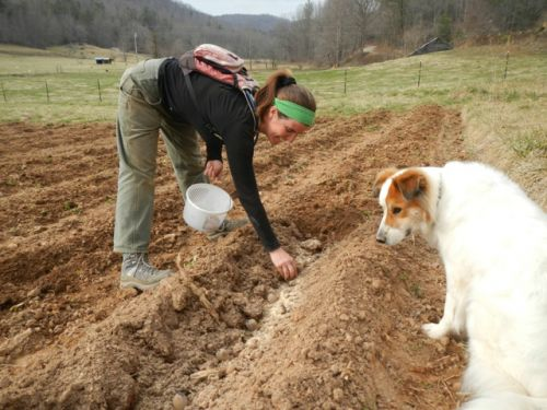 Shiloh (and Tully) planting potatoes