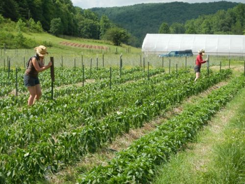 Lizzy and Lacey pounding posts for the pepper trellis