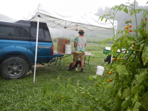 harvesting tomatoes in the rain