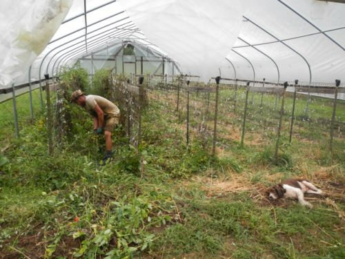 Kyle removing tomato vines from the hoop house