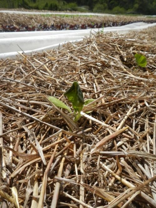 frost damaged summer squash plant (oops)