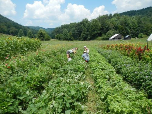 Picking beans in the beautiful Tumbling Shoals Valley