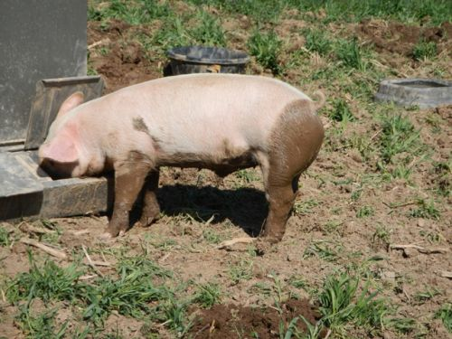 pigs with mud pants
