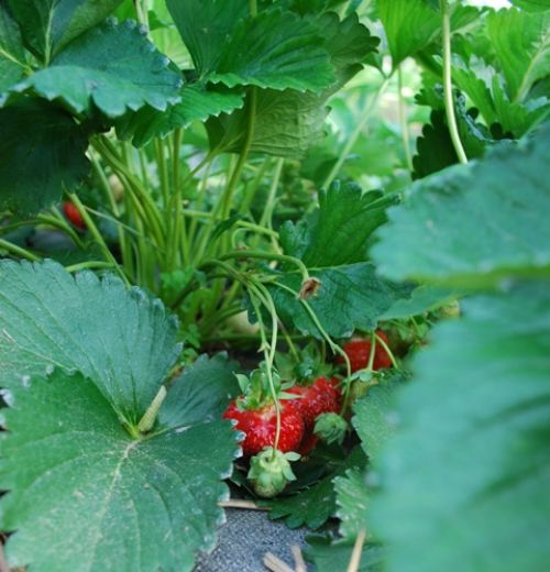 strawberries ripening on the plant
