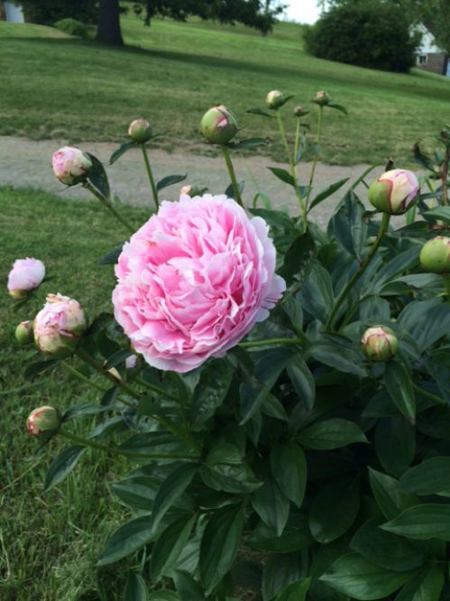 Peonies in the front yard