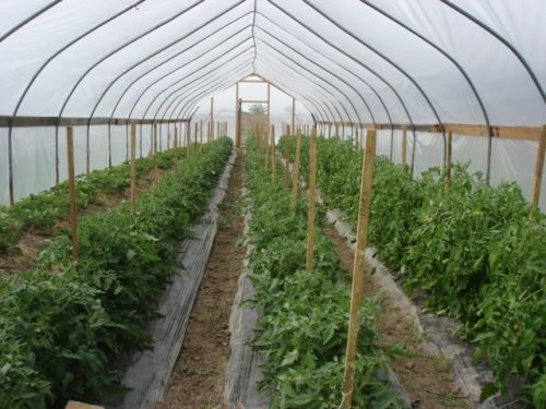 look at all those tomatoes!