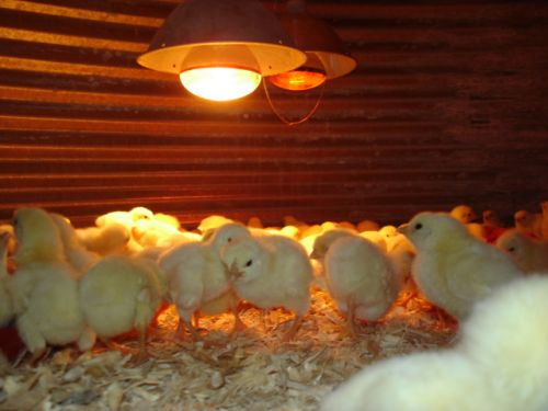 First batch of chicks are here!
