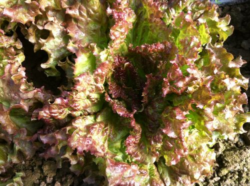Red Sails head Lettuce