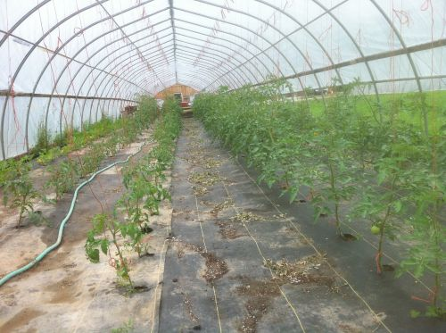 early tomatoes