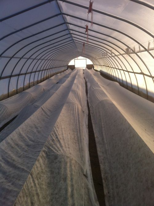 spinach under row cover