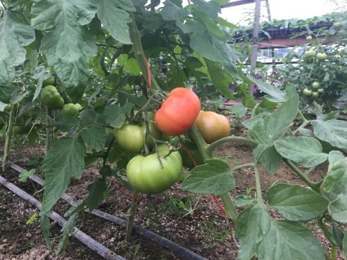 the first ripening tomato!