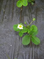 strawberry flower on new plant