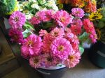 shaded of pink zinnias from cutting garden