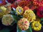 more candy cane type zinnias from cutting garden